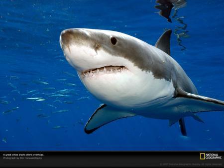 20110427173248-tiburon.jpg