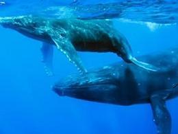 20120309123930-20120308193808-ballena-azul-en-extincion.jpg