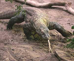 20111007233735-dragon-de-komodo.jpg