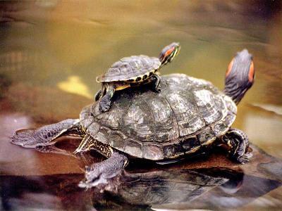 20120304134942-tortugas-acuaticas-02.jpg