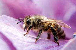 20120309123809-20120308172248-abejas-miel-recoleccion.jpg