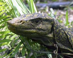 20120312134838-20120312110614-science-newlizard.jpg