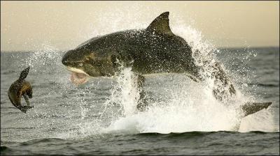 20121120205827-tiburon-ataca-foca.jpg