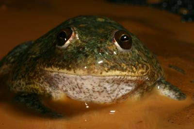 20160314215202-cyclorana-platycephala-gerry-marantelli-www.frogs.org.au.jpg