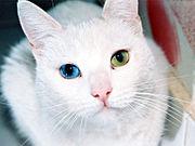 Gato con heterocromia